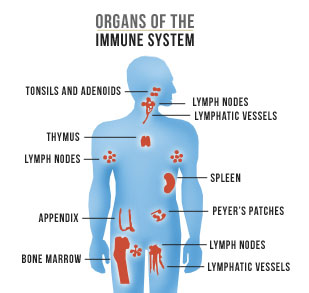 Dit immunforsvar holder sygdomme væk